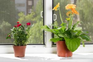 Bunte Vielfalt im Haus: Gerbera als Zimmerpflanze