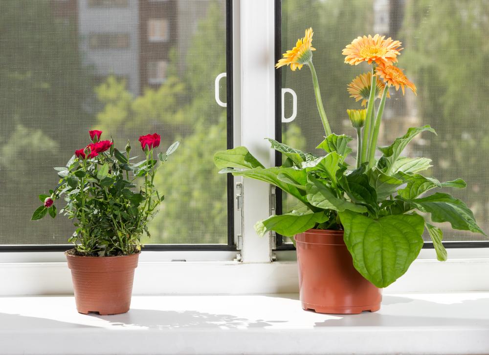 gerbera-zimmerpflanze