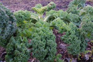 Gelbe Blätter am Grünkohl – worauf deuten diese hin?