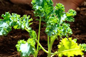 Grünkohl pflanzen – so gehen Sie vor