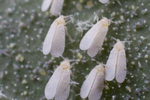 Ist Grünkohl nach dem Befall mit der weißen Fliege noch essbar?