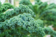 gruenkohlsorten