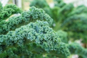Welche wichtigen Grünkohlsorten gibt es?