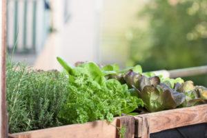 Kopfsalat auf dem Balkon – das gibt es zu beachten