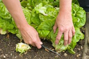 Wann ist die Erntezeit vom Kopfsalat?