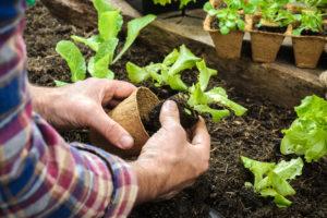 Kopfsalat pflanzen – dieser Abstand ist einzuhalten
