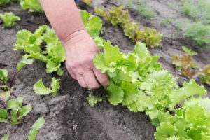 Kopfsalat pikieren – so klappt es