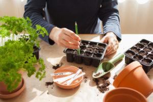 Kopfsalat säen – das gibt es zu beachten