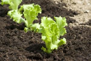 Kopfsalat selber ziehen – so klappt die Anzucht