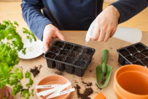 Kopfsalat vorziehen – so wird es gemacht