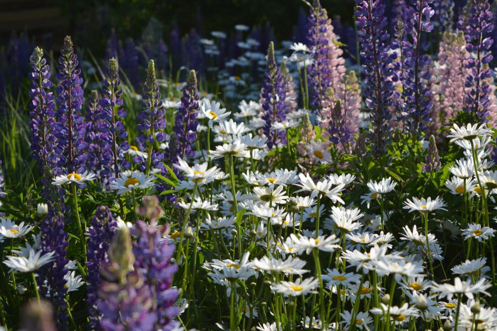 lupinen-pflanzen