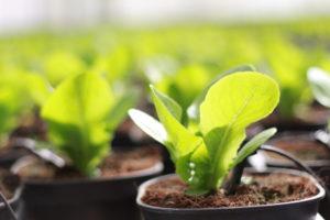 Pak Choi im Garten anbauen – das gibt es zu beachten
