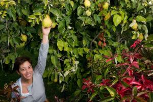 Quittenbaum Größe – wie groß kann die Quitte werden?