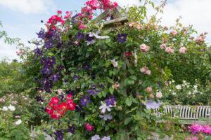 Eine einzigartige Kombination: Clematis und Rosen