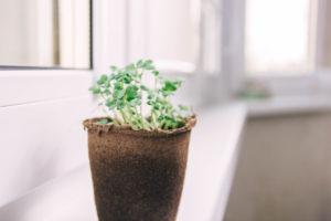 Senfpflanzen selber ziehen – so einfach geht's