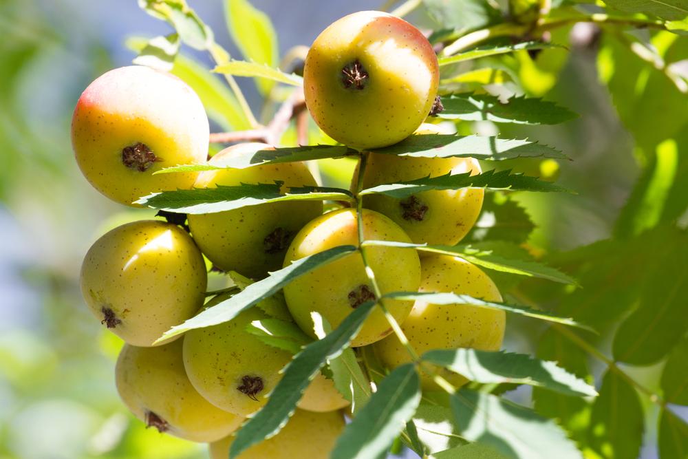 speierling-frucht