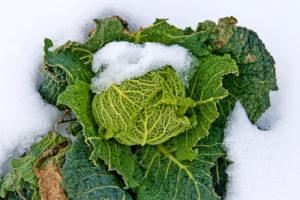 Ist Wirsing winter- und frosthart?