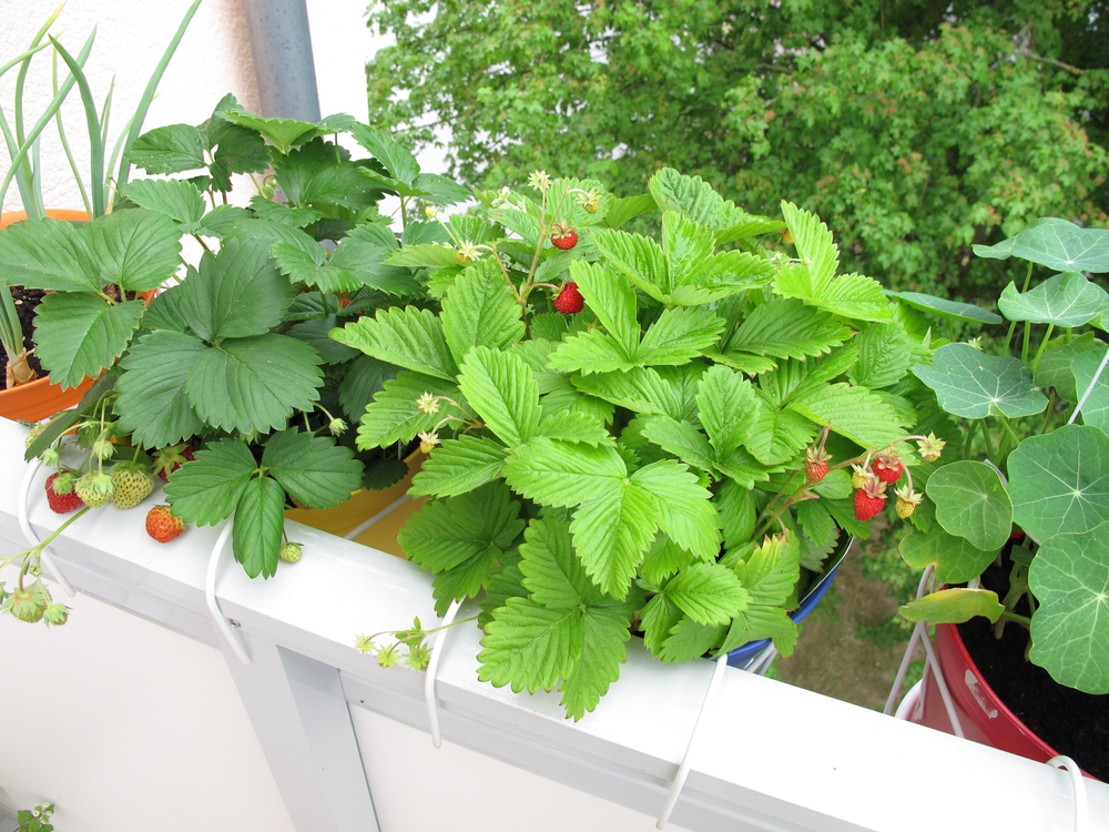 erdbeeren-balkon