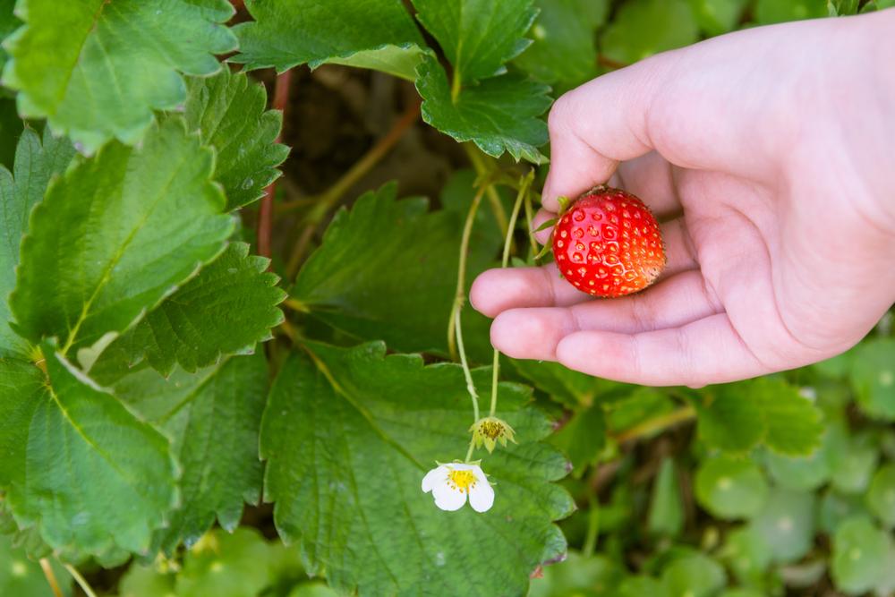 erdbeeren-ernten