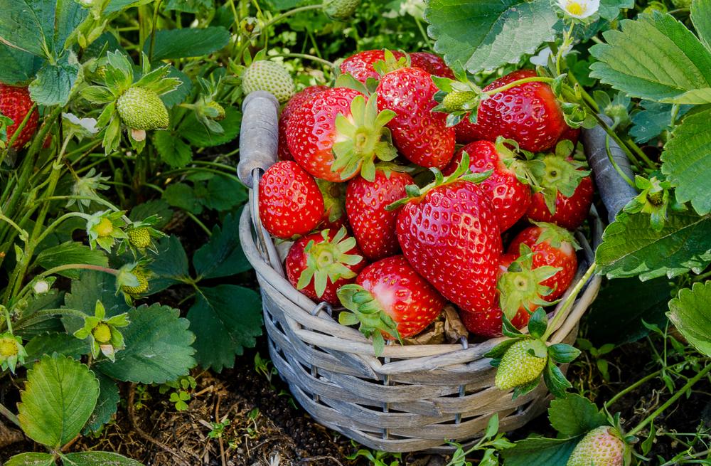 erdbeeren-erntezeit