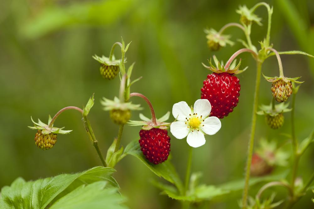 erdbeeren-herkunft