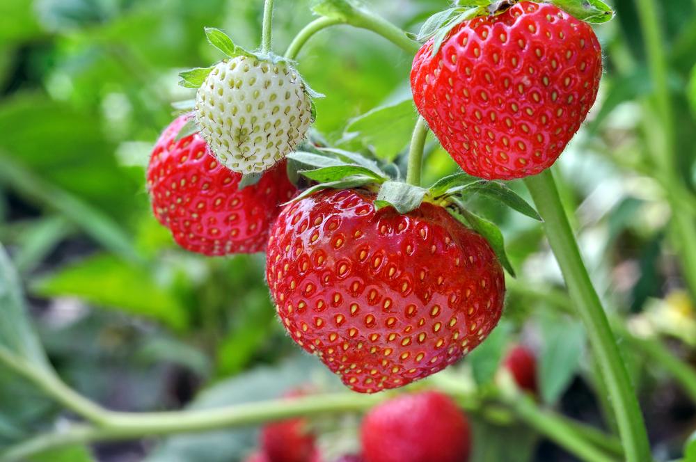 erdbeeren-im-garten