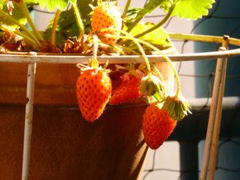 erdbeeren-im-topf