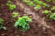 erdbeeren-pflanzen-die-wichtigsten-tipps