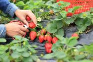 erdbeeren-pfluecken