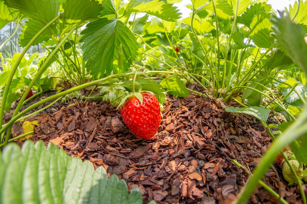 erdbeeren-rindenmulch