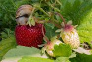 erdbeeren-schaedlinge