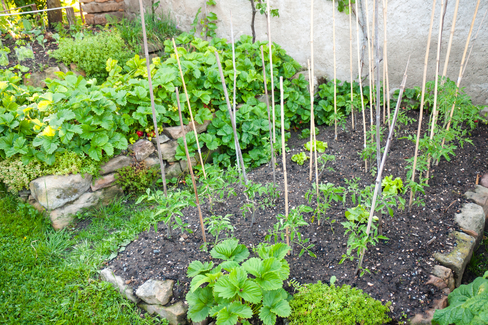 erdbeeren-und-tomaten-zusammen-pflanzen