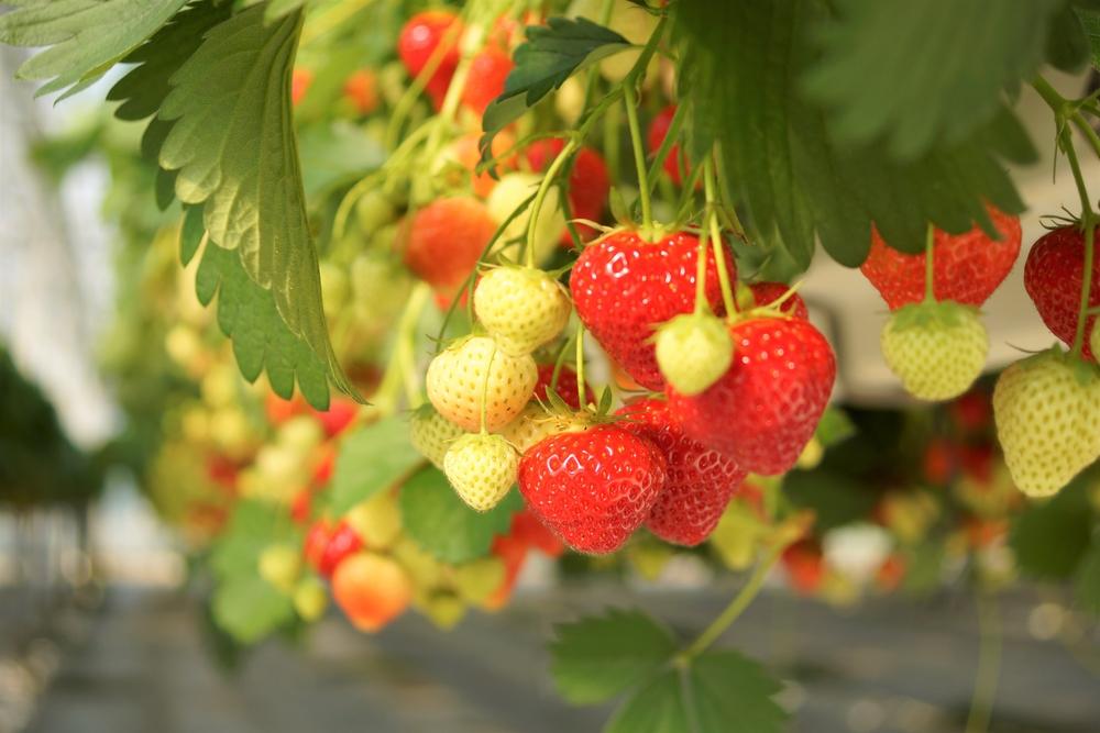 haengende-erdbeeren