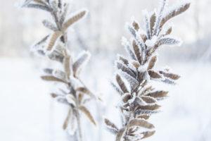 So überstehen Ihre Lupinen den Winter unbeschadet