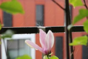 Intensive Pflege erforderlich: Magnolien auf dem Balkon