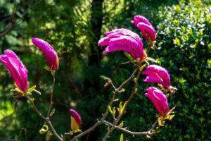 Wie die Magnolie auch im August blüht