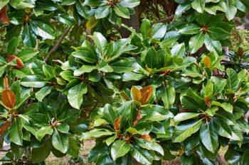 magnolie-blueht-nicht