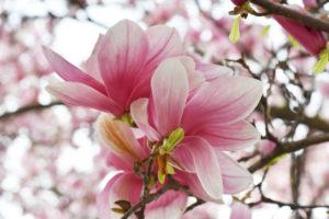 Die Blüte der Magnolie