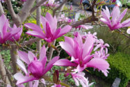 magnolie-bluetezeit