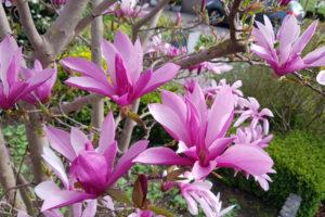 Die Blütezeit der Magnolie