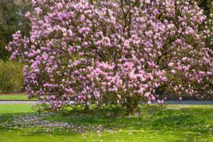 Wie muss ein guter Boden für Magnolien beschaffen sein?