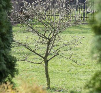 magnolie-pflanzen