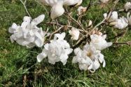 magnolie-umpflanzen