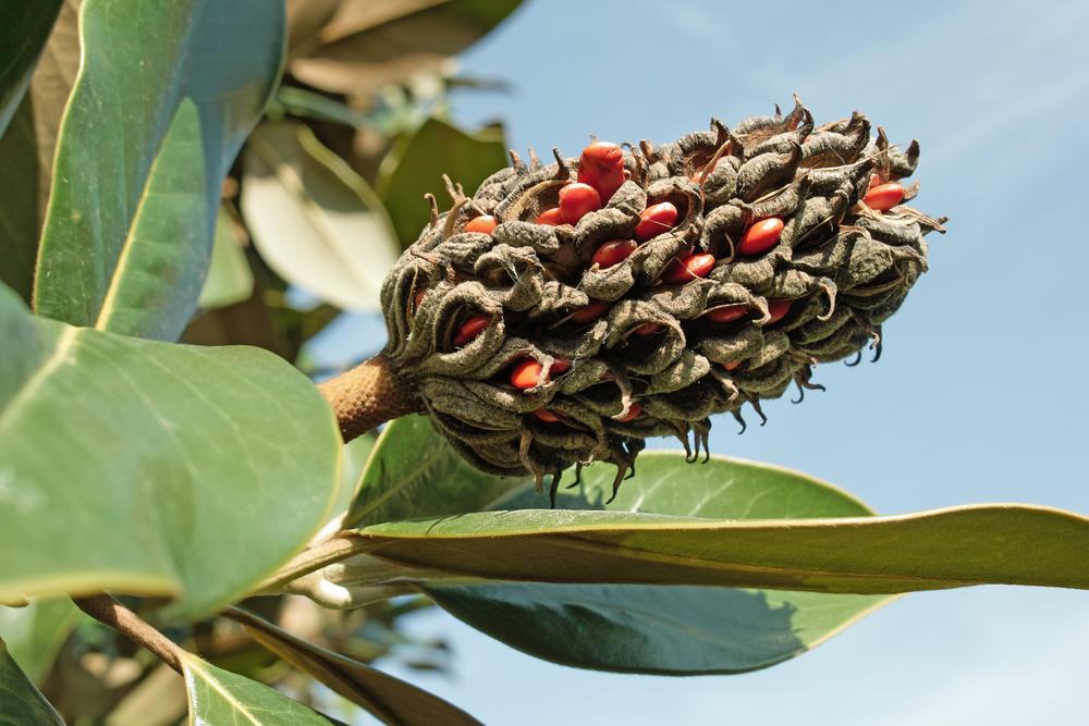 magnolie-vermehren