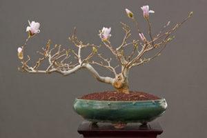 Anspruchsvolles Unterfangen: Magnolie als Bonsai
