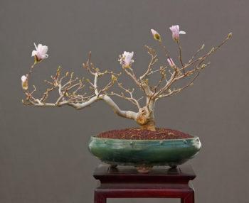 magnolie-bonsai
