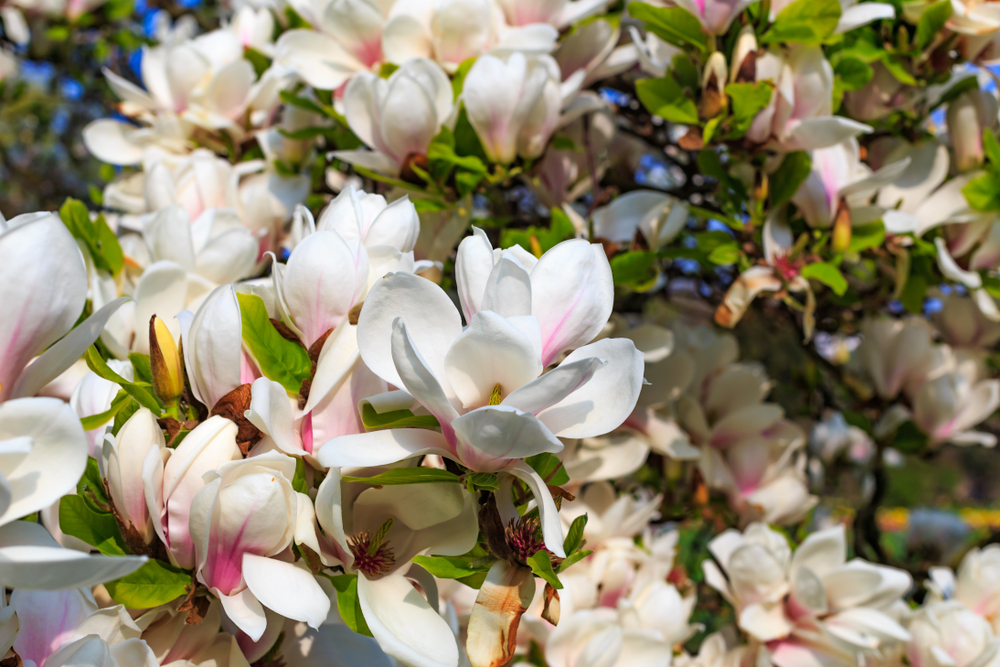 magnolie-duft