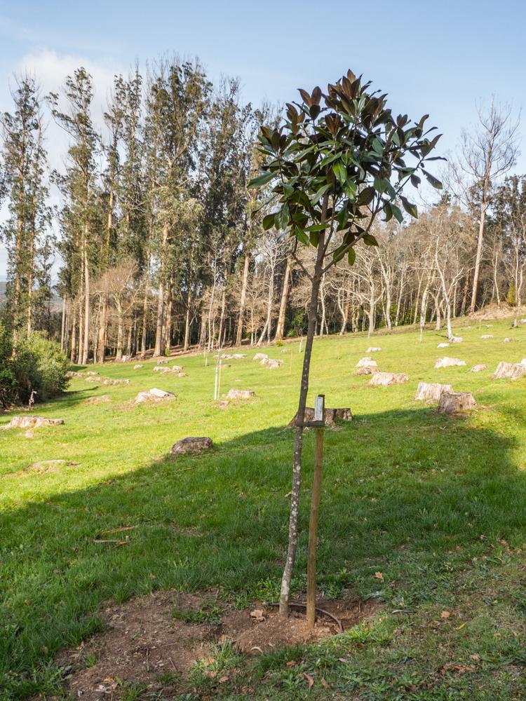 magnolie-einpflanzen