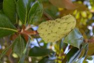 magnolie-frucht
