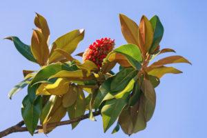Ist die Frucht der Magnolie essbar?